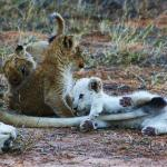 White lions