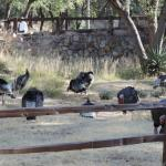 Wild Turkeys at the Lodge
