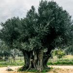 Oliveira 2450 anos / 2450 years old olive tree