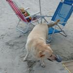 Cadela que é figurinha carimbada na praia da  Enseada - Ubatuba