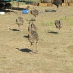 The ostrich farm tour with Bartel