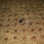 Döglött légy a szőnyegen, közvetlenül a takarítás után.