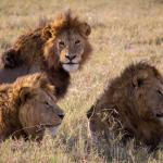 Saw these three in Ngorongoro (thanks to Nicolas)