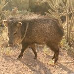 Javelina at our back door.