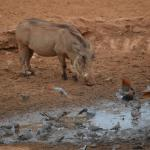 pumba and doves at water hold