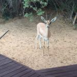 The little antelope visiting our suite