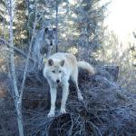 Northern Lights Wildlife Wolf Centre