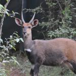 Bushbuck that walked in