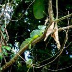 The beautiful Basilisk Lizard