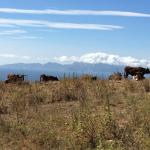 Cows on the way to the Cortijo