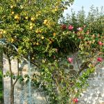 splendid roses and orange trees
