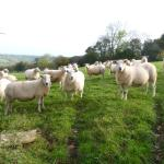 Just a few of our ewes that produce our tasty lambs.