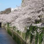 江戸川橋から椿山荘・冠木門方向の遊歩道にかかる桜です
