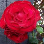 met by roses