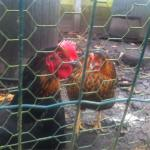The chickens!
