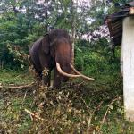 An elephant in captivity.After the last one killed its Mahaut, this one coming there was a big d