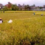 Rice field on Jalan Bisma