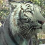 Tigre Blanco Zologico de Cali