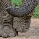 Photo of the domesticated elephants trunk and feet