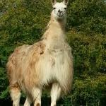 One of the Stablegrove Llamas