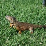 These iguana roam all over the property...  Fantastic and interesting to view