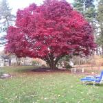 Gorgeous Japanese Maple on Inn grounds