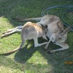 Mum Kangaroo Having A Shady Rest While Her Joey Has A Feed
