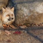 A fox in the rocks