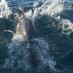 The driver carefully and skillfully guided the panga to a pod of dolphins swimming with a calf