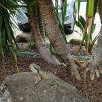 Tropical garden and resident lizard