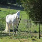 I woke up to see two beautiful white horses in the next field