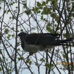 Wood Pigeon Native Birds of NZ