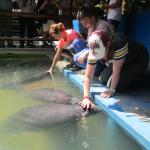 Come and meet the Amazonian manatee ... with your visit aids their conservation