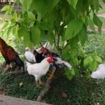 Tame rooster