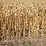 Plantações de trigo pelo caminho