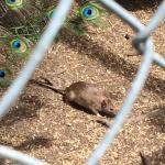 One of the large rats in the peacock enclosure (unsure if they were meant to be there, weird cag