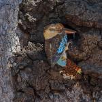 Blue Winged Kookaburra at nest