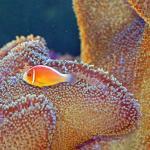 anemone & clown fish