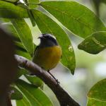 There were a lot of bananaquits as well.