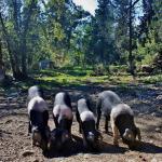 ancora più populare i maiali