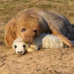 Mum and pup Grey Seal Donna Nook