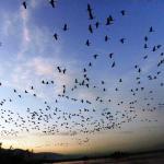 Cranes at sunset. Hulla valley