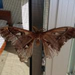 Local moth hanging around for the day!