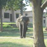 domestic elephant wandering about the grounds