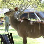 Female Kudu wondering around the pool area