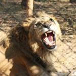 Lion enclosure