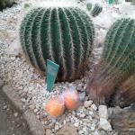 Огромные кактусы (апельсины положены для сравнения)