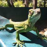 One of many baby iguanas!
