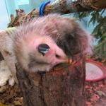 Sleepy Opossum