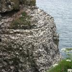 Thousands of seabirds nesting on the cliffs